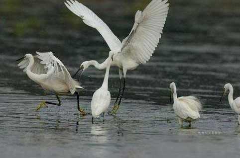 白鹤不仅是国家一级保护动物